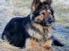 Деревенский пёс