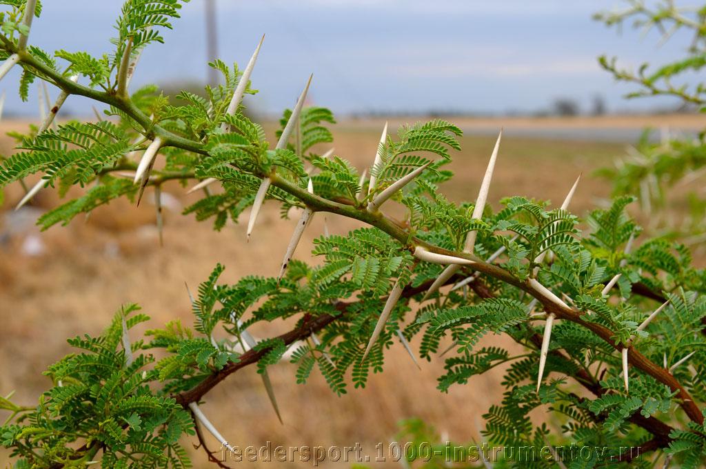 Колючки на дереве, на ЧМ в ЮАР 2013