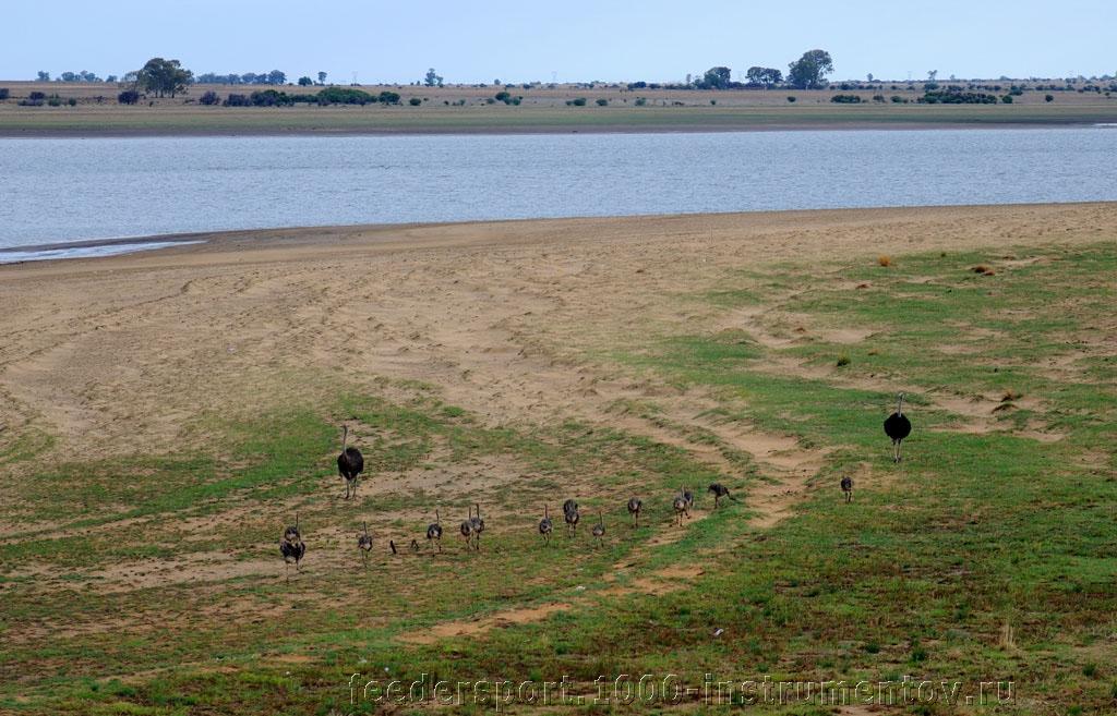 Страусы пасутся в ЮАР 2013