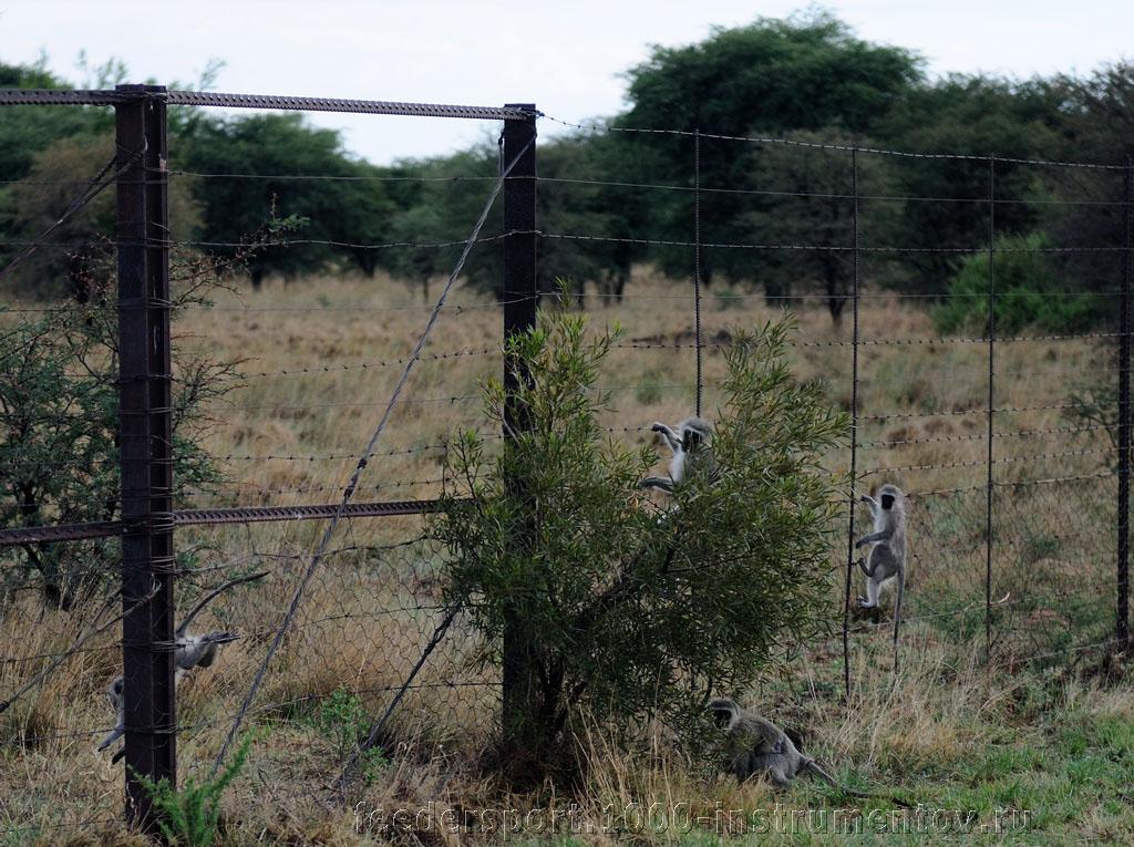 Мартышки в ЮАР 2013