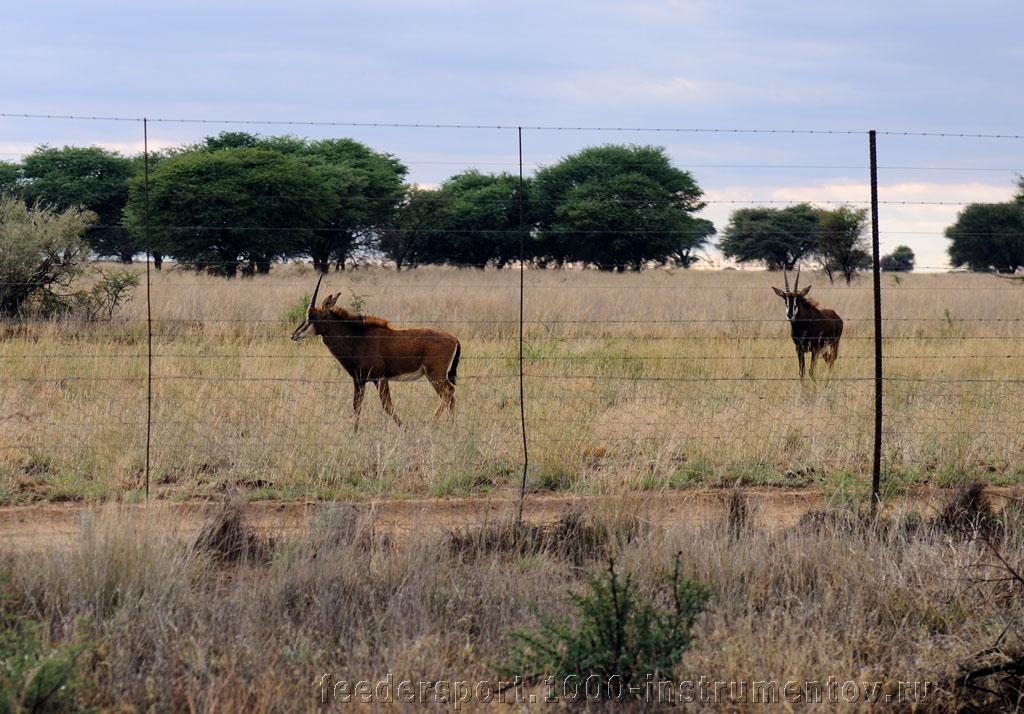 Антилопы в ЮАР 2013